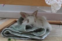 Dudley rabbit